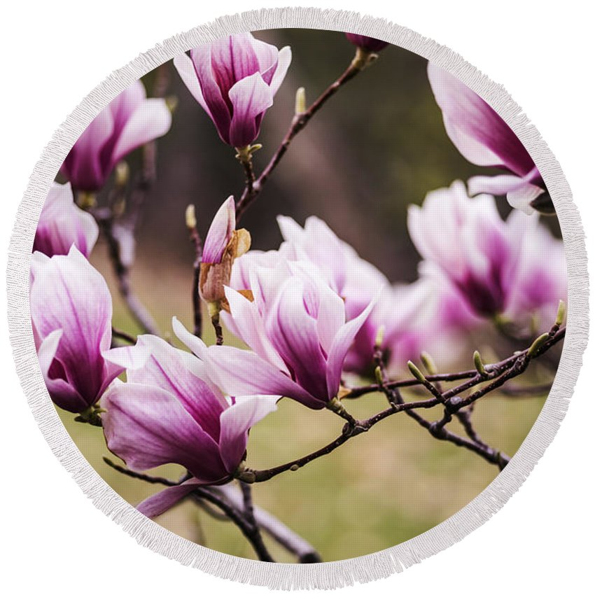 Magnolia Round Beach Towel featuring the photograph Magnolia Blooming In An Early Spring by Vishwanath Bhat