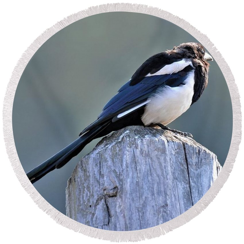 Magpie Round Beach Towel featuring the photograph Magpie In The Sun by Heidi Fickinger