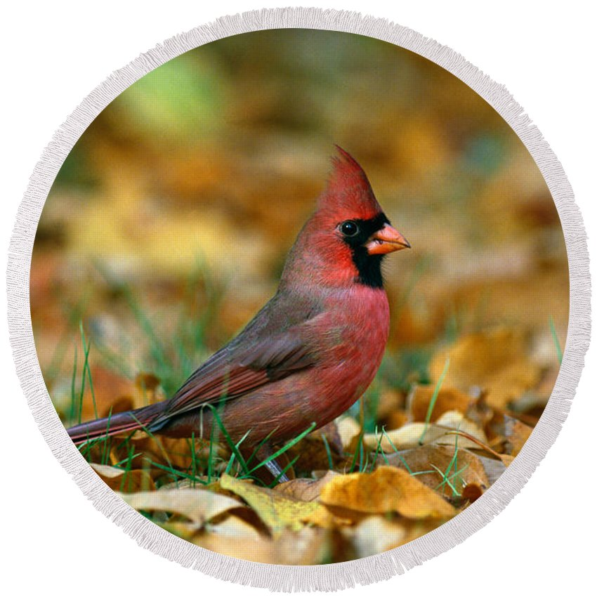 Photography Round Beach Towel featuring the photograph Male Cardinal Cardinalis Cardinalis by Panoramic Images