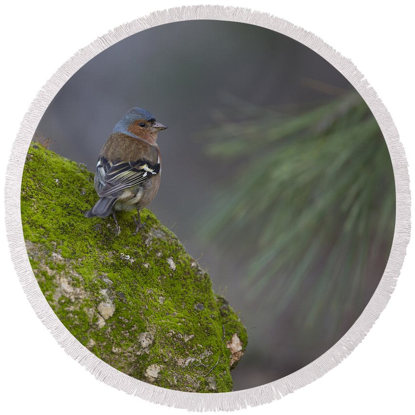 Chaffinch Round Beach Towel featuring the photograph Male Common Chaffinch by Alon Meir