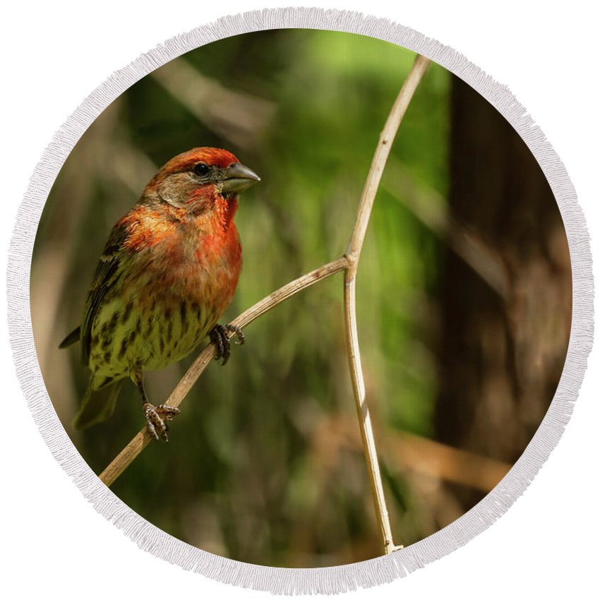 Male Finch In Red Plumage Round Beach Towel featuring the photograph Male Finch In Red Plumage by Angela Stanton