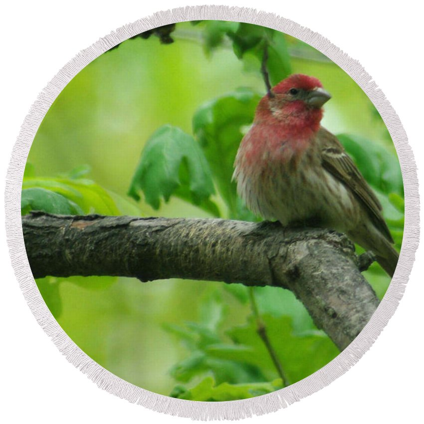 Jenny Gandert Round Beach Towel featuring the photograph Male House Finch by Jenny Gandert