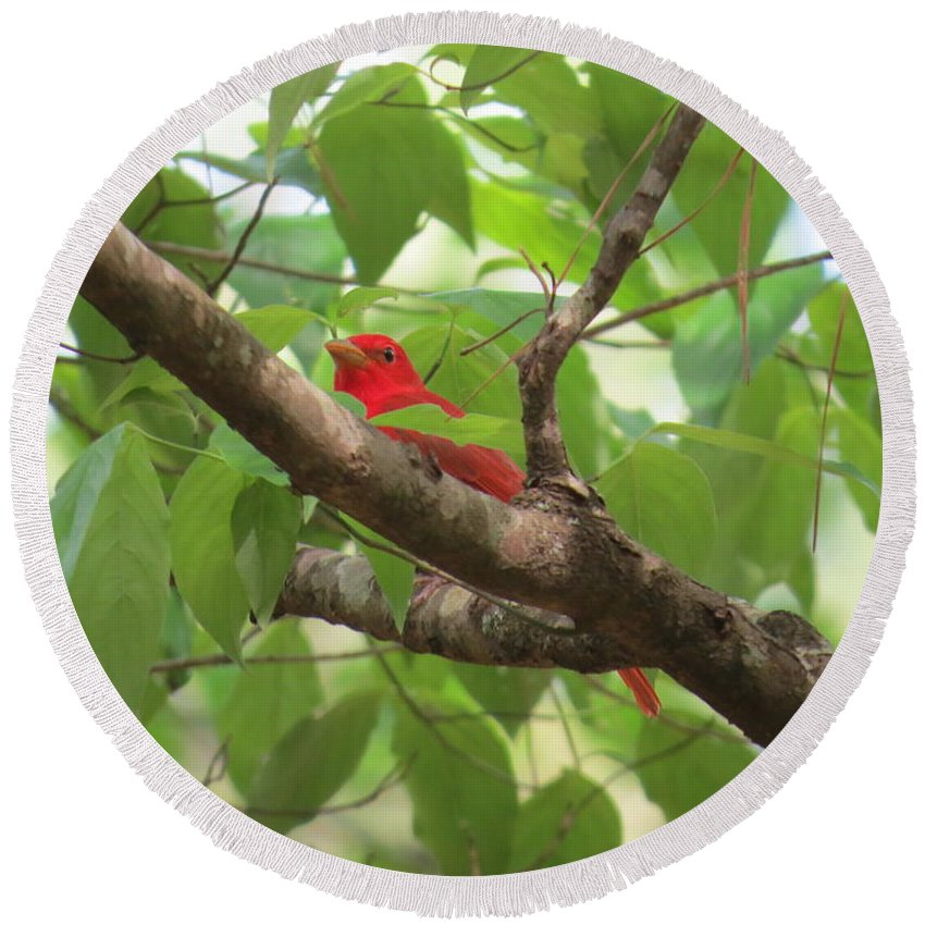 Summer Tanager Round Beach Towel featuring the photograph Male Summer Tanager by Charles Green