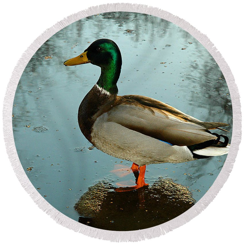 Clay Round Beach Towel featuring the photograph Mallard by Clayton Bruster