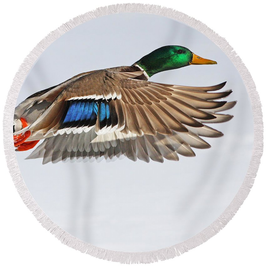 Anas Round Beach Towel featuring the photograph Mallard Duck In Flight by Mircea Costina Photography