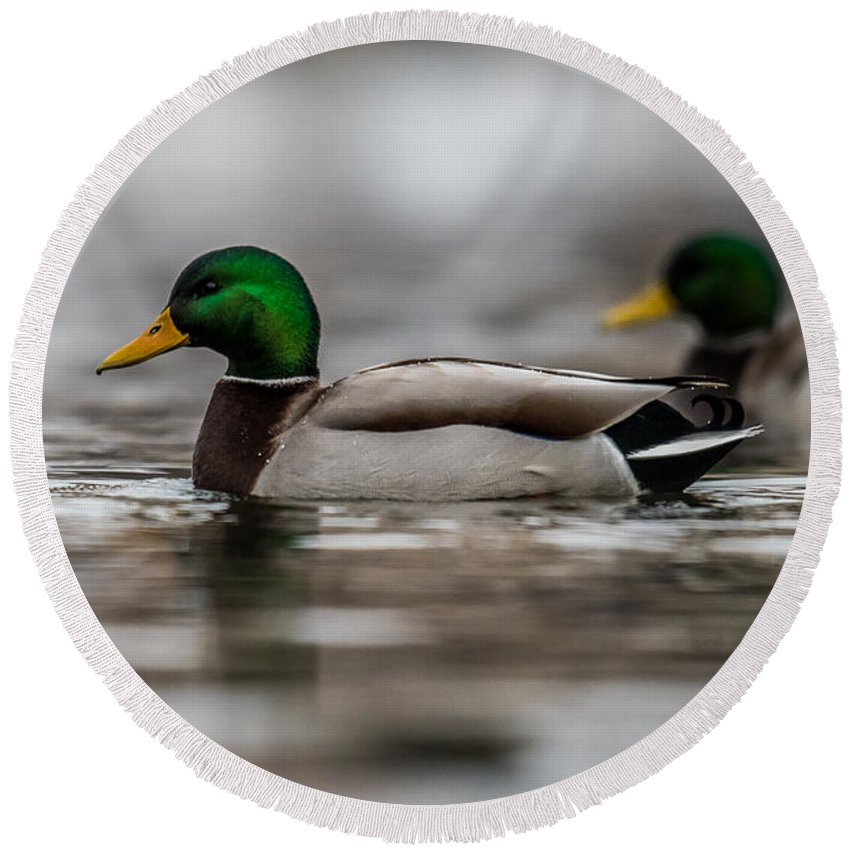 Mallard On A Log Round Beach Towel featuring the photograph Mallard by Paul Freidlund