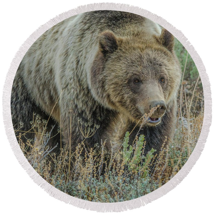 Blonde Bear Round Beach Towel featuring the photograph Mama Grizzly Blondie by Yeates Photography