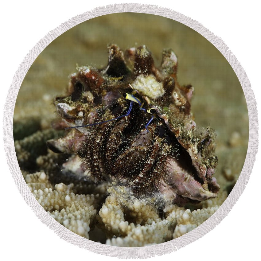 Marine Life Round Beach Towel featuring the photograph Marine Hermit Crab by Anthony Totah