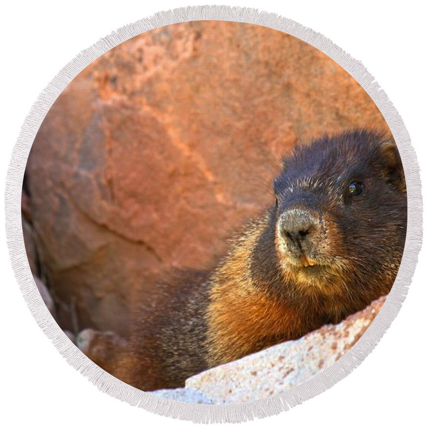 Yellow Bellied Marmot Round Beach Towel featuring the photograph Marmot On The Rocks by Adam Jewell