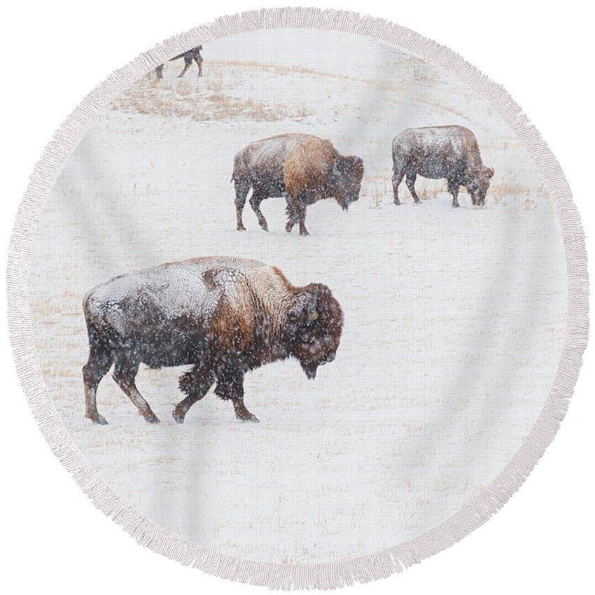 Buffalo Round Beach Towel featuring the photograph Matriarch by Derald Gross