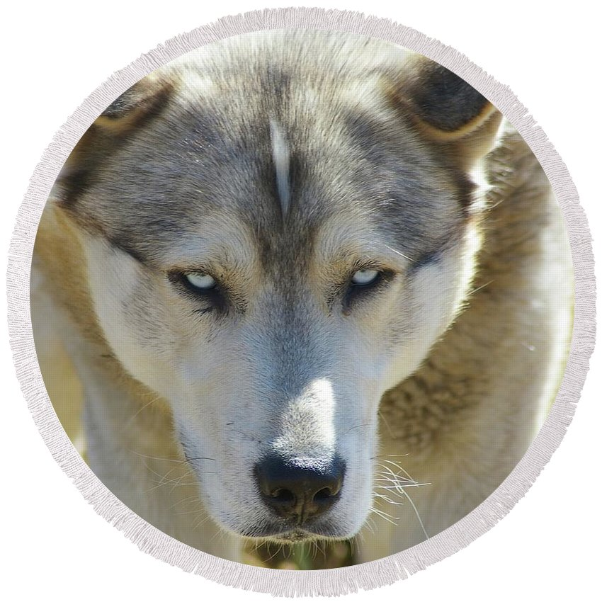 Dogs. Far Animals. Huskies Round Beach Towel featuring the photograph Meet Mr Happy by Jeff Swan