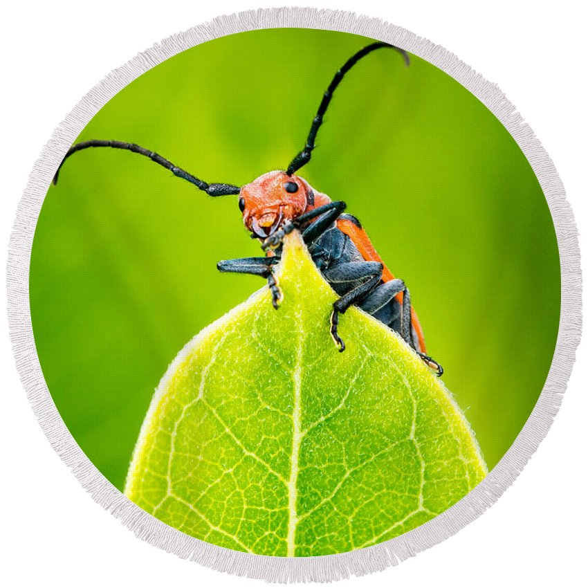 Animal Round Beach Towel featuring the photograph Milkweed Beetle by Abeselom Zerit