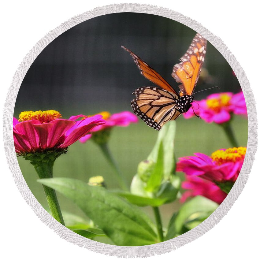 White Round Beach Towel featuring the photograph Monarch Approaching Zinnia by Angela Rath