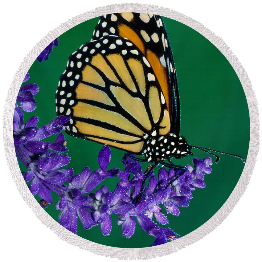 Photography Round Beach Towel featuring the photograph Monarch Butterfly On Flower Blossom by Panoramic Images