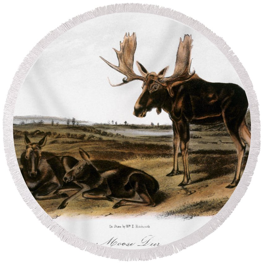 1846 Round Beach Towel featuring the photograph Moose Deer (cervus Alces) by Granger