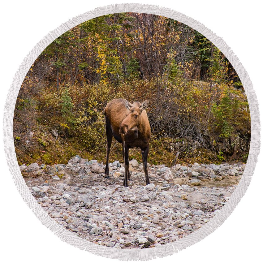 #jefffolger Round Beach Towel featuring the photograph Moose Pawses In Mid-drink by Jeff Folger