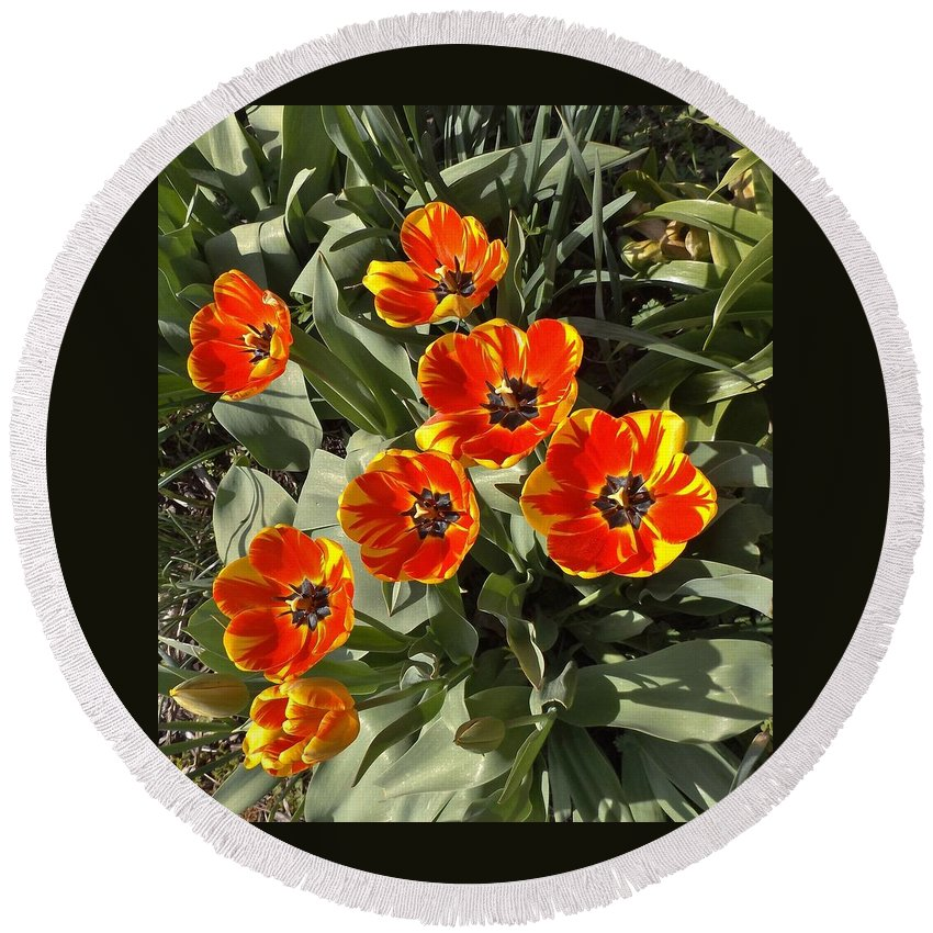 Tulips Round Beach Towel featuring the photograph Morning Tulip Blooms  Indiana  Spring by Rory Cubel