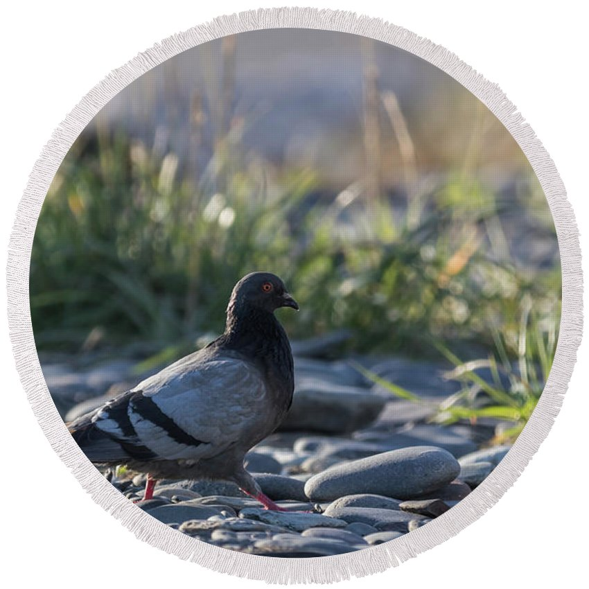 Rock Dove Round Beach Towel featuring the photograph Morning Walk by Eva Lechner