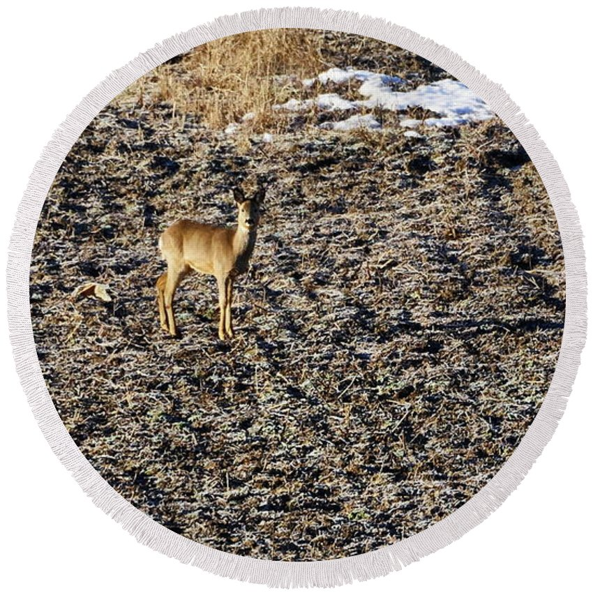 Finland Round Beach Towel featuring the photograph Morning. White-tailed Deer by Jouko Lehto
