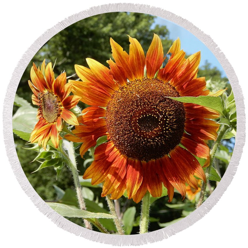 Mums Round Beach Towel featuring the photograph Mother And Daughter Sunflowers by Tina M Wenger