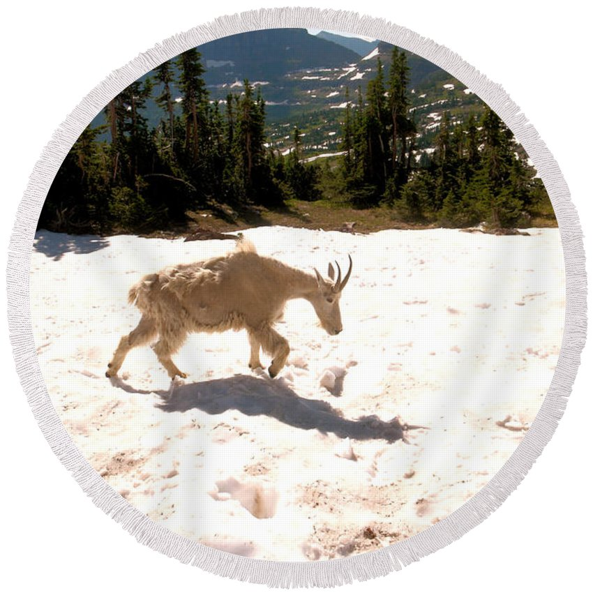 Mountain Goat Round Beach Towel featuring the photograph Mountain Goat Crossing A Snow Patch by Jeff Swan