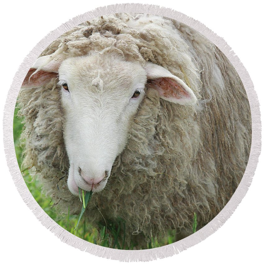 Sheep Round Beach Towel featuring the photograph Mouthful by Jean Macaluso