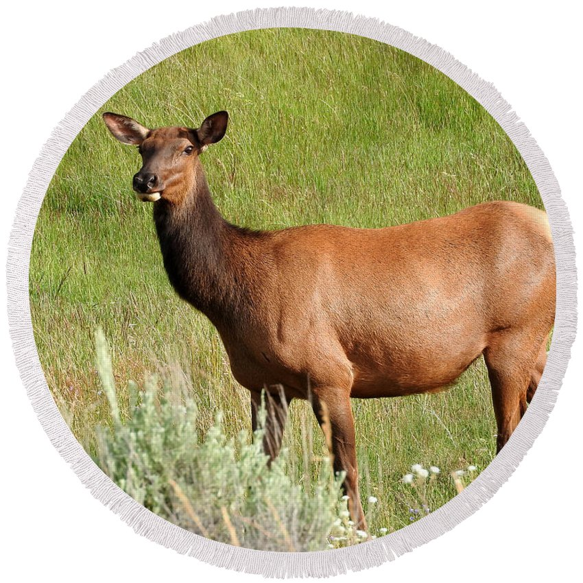 Ann Keisling Round Beach Towel featuring the photograph Ms. Elk by Ann Keisling