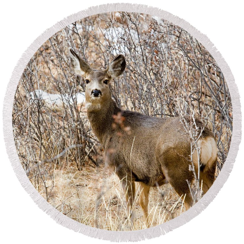 Deer Round Beach Towel featuring the photograph Mule Deer In Winter In The Pike National Forest by Steve Krull