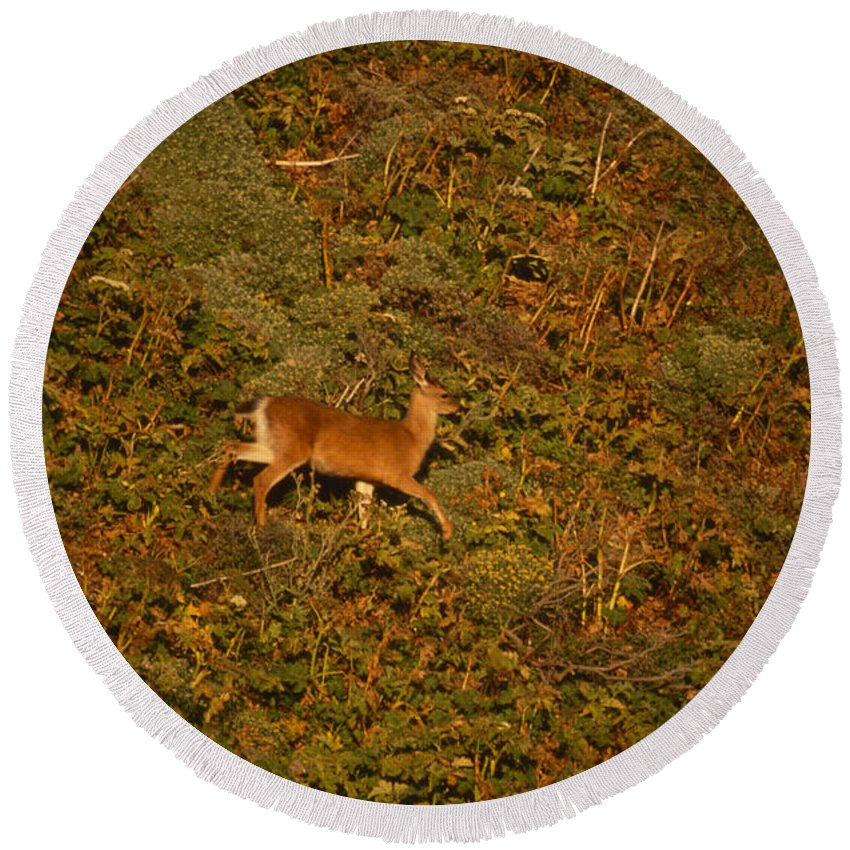 Mule Deer Round Beach Towel featuring the photograph Mule Deer - Mattole Beach by Soli Deo Gloria Wilderness And Wildlife Photography