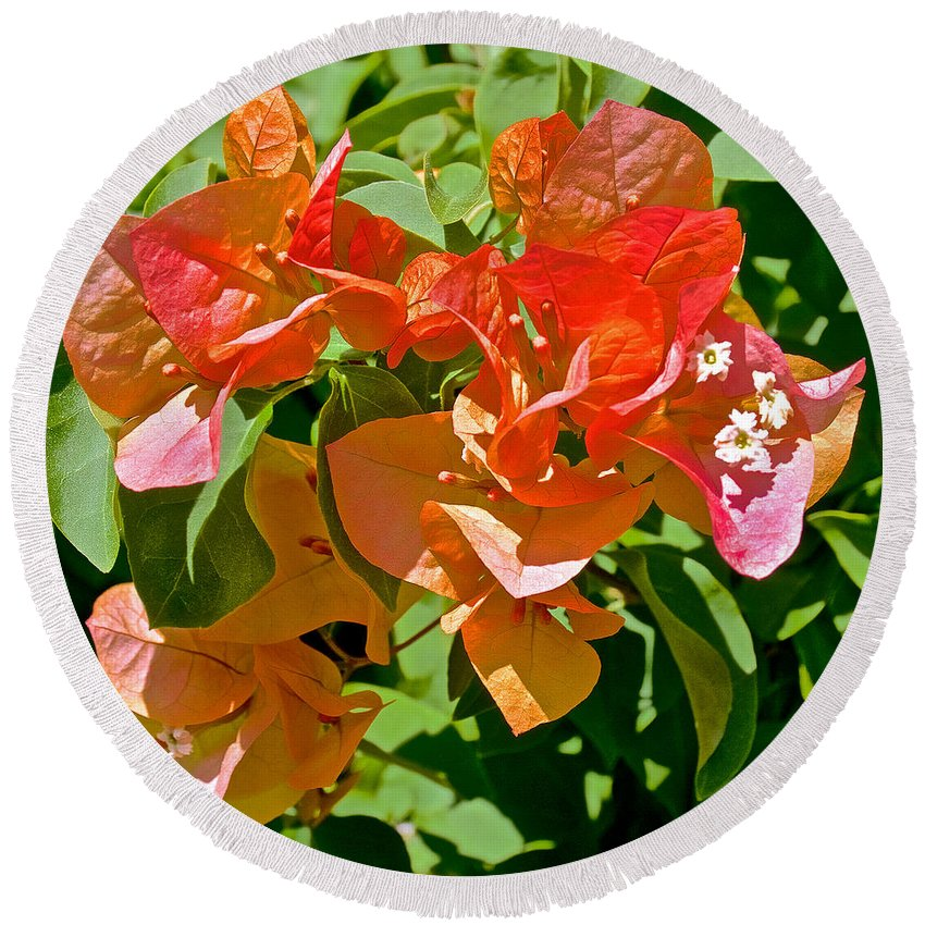 Multi-colored Bougainvillea At Pilgrim Place In Claremont Round Beach Towel featuring the photograph Multi-colored Bougainvillea At Pilgrim Place In Claremont-california by Ruth Hager