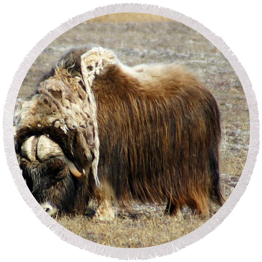 Musk Ox Round Beach Towel featuring the photograph Musk Ox by Anthony Jones