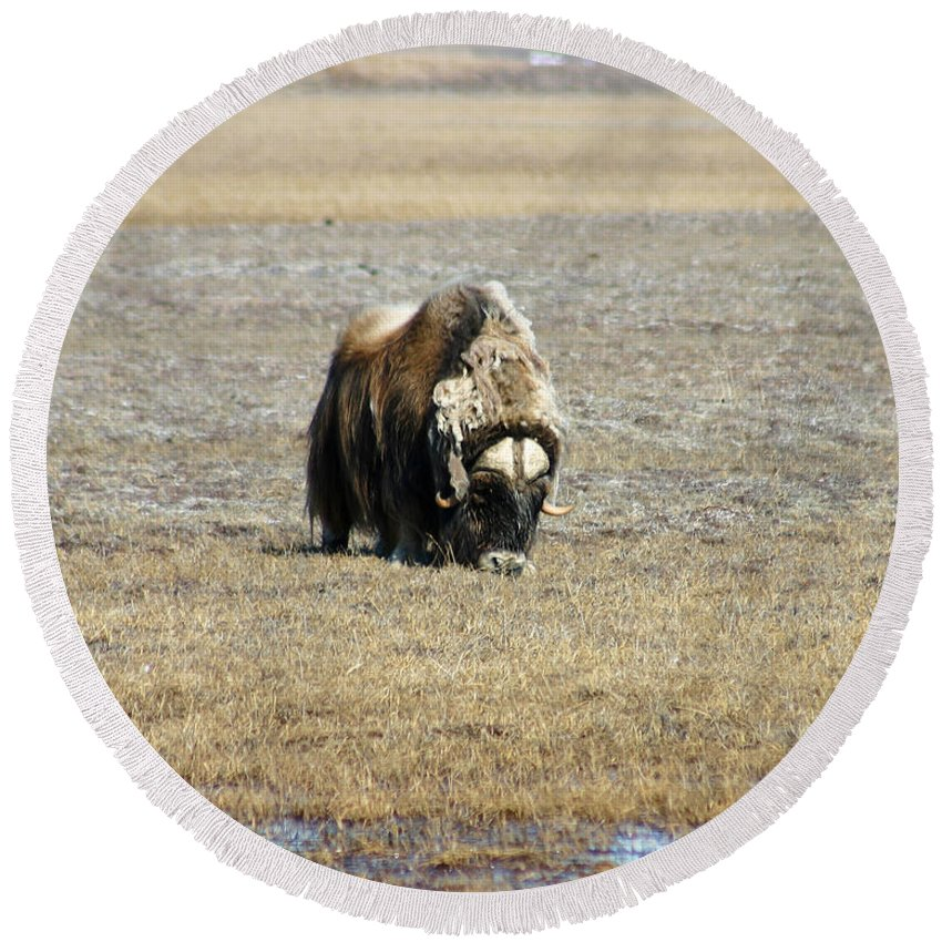 Musk Ox Round Beach Towel featuring the photograph Musk Ox Grazing by Anthony Jones