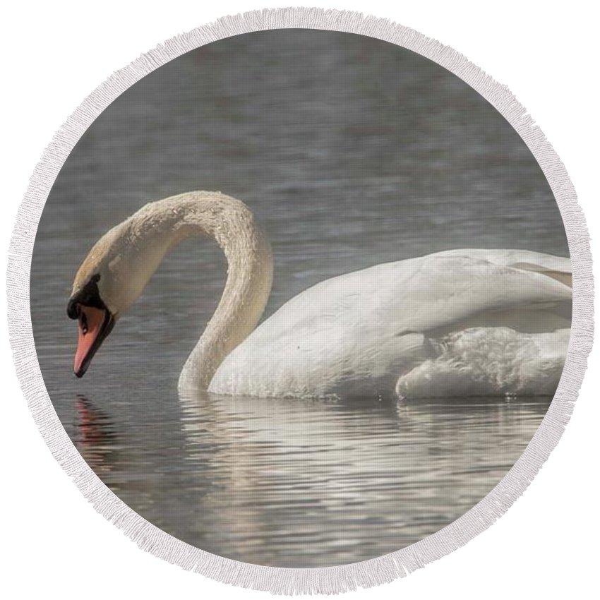 Mute Swan Round Beach Towel featuring the photograph Mute Swan by David Bearden