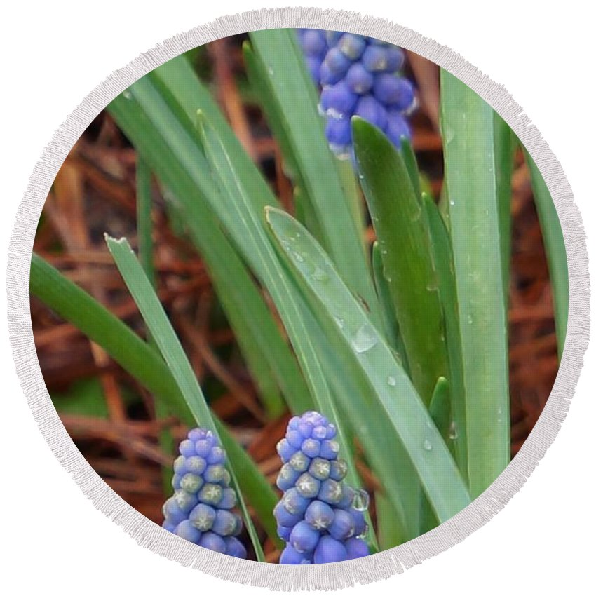 Grape Hyacinths Round Beach Towel featuring the photograph My First Grape Hyacinths by Maxine Billings