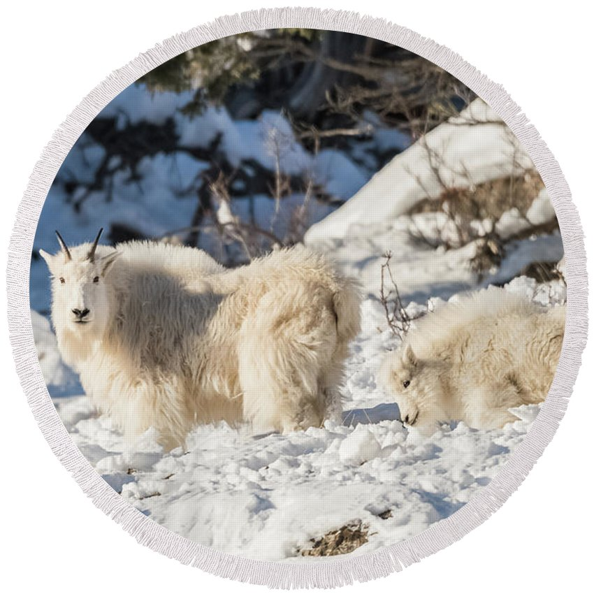 Rocky Mountain Goat Round Beach Towel featuring the photograph Nanny And Her Kid by Yeates Photography