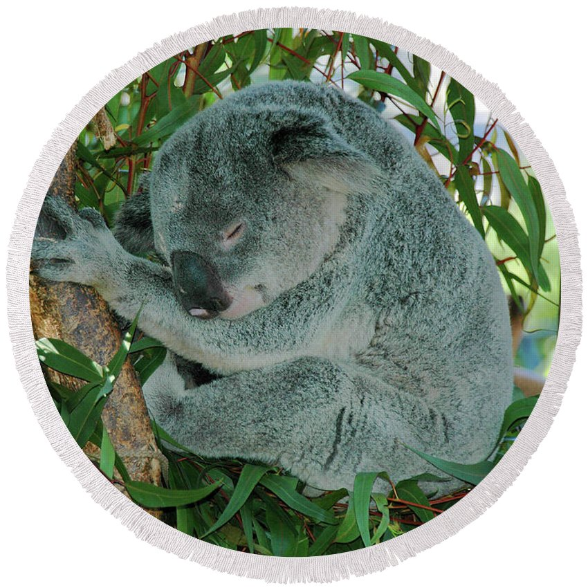 Koala Round Beach Towel featuring the photograph Napping by Pat Kenyon