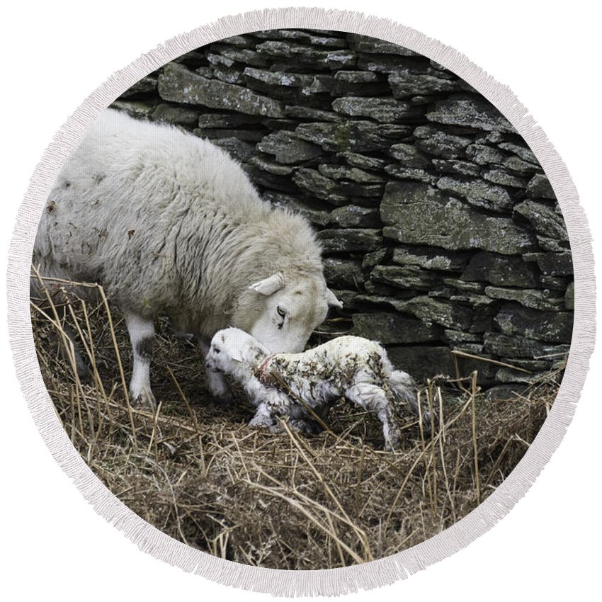 New Born Lamb Round Beach Towel featuring the photograph New Born by Steve Purnell