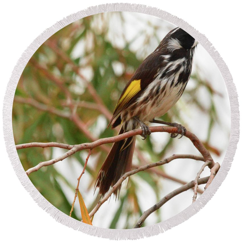Honey-eater Round Beach Towel featuring the photograph New Holland Honey-eater by Peter Krause