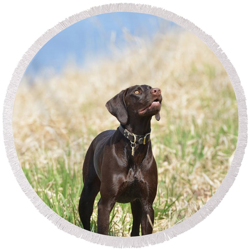 German Shorthaired Pointer Round Beach Towel featuring the photograph New Land by Tammy Mutka