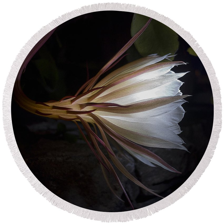 Cereus Round Beach Towel featuring the photograph Night Blooming Cereus by David Stone