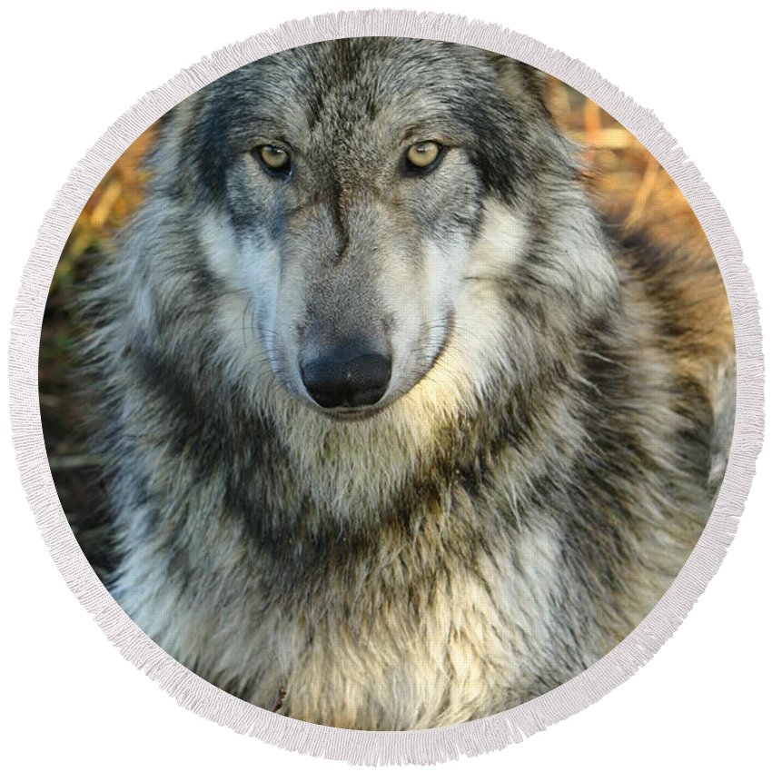 Wolf Lupine Canis Lupus Animal Wildlife Photography Photograph Round Beach Towel featuring the photograph Noble Lupine by Shari Jardina