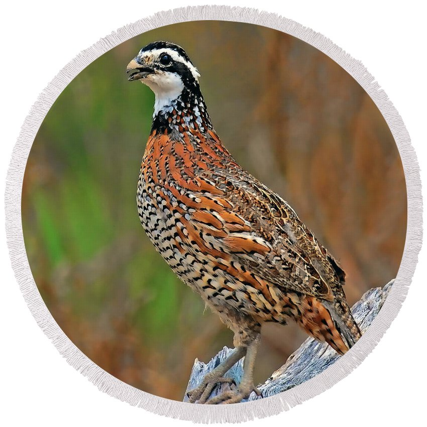 Northern Bobwhite Round Beach Towel featuring the photograph Northern Bobwhite by Dave Mills
