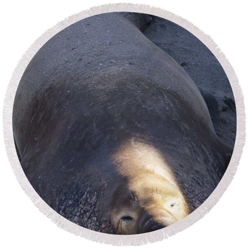 Northern Elephant Seal Round Beach Towel featuring the photograph Northern Elephant Seal by Soli Deo Gloria Wilderness And Wildlife Photography