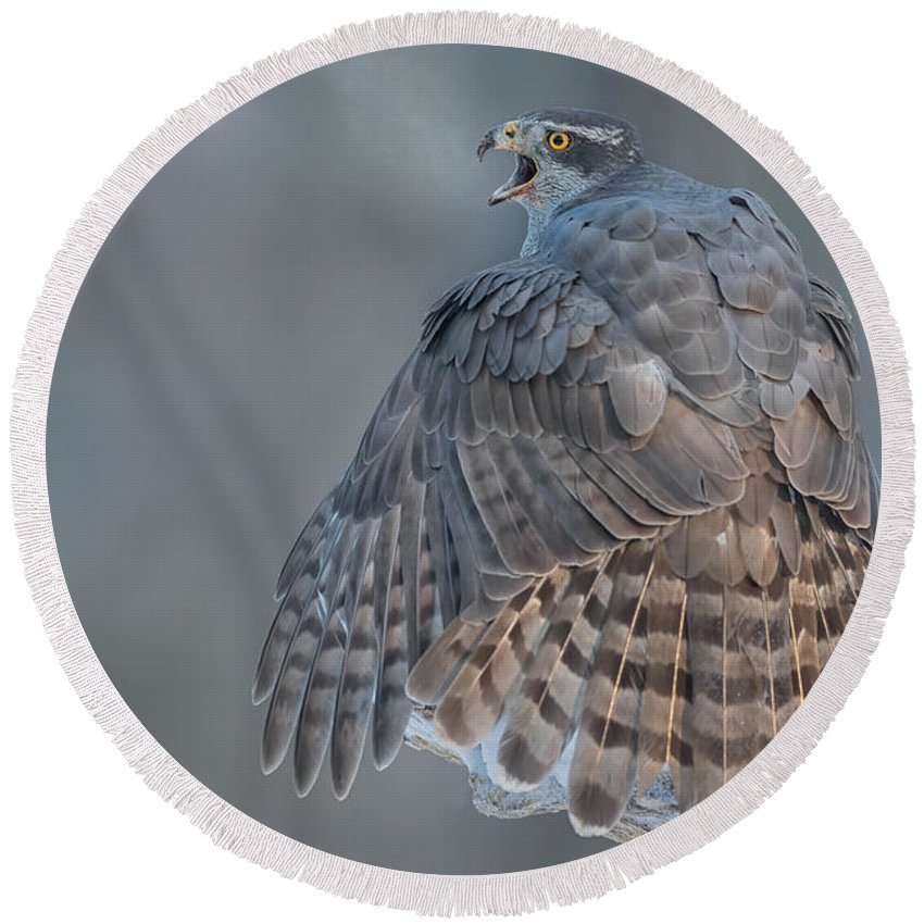 Hawks Round Beach Towel featuring the photograph Northern Goshawk, Just Breathe by Michael Kuijl