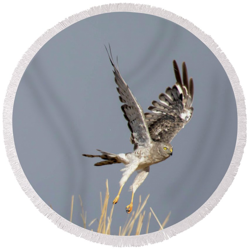 Round Beach Towel featuring the photograph Northern Harrier by Laura Lien