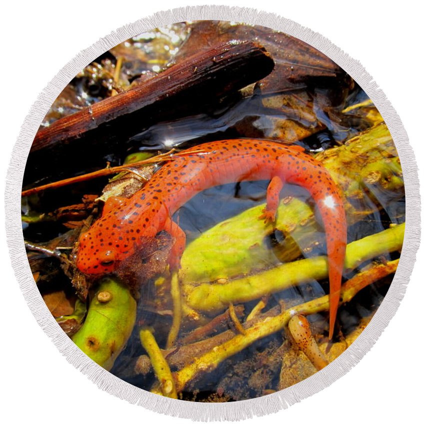 Northern Red Salamander Nature Prints Maryland Appalachian Amphibians Orange Salamander Streams Creek Brook Aquatic Life Water Quality Round Beach Towel featuring the photograph Northern Red Brook by Joshua Bales