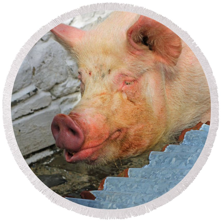 Not A Piglet Anymore Round Beach Towel featuring the photograph Not A Piglet Anymore by Jennifer Robin