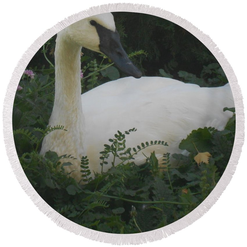 Trumpeter Swan Round Beach Towel featuring the photograph Not So Ugly by LKB Art and Photography
