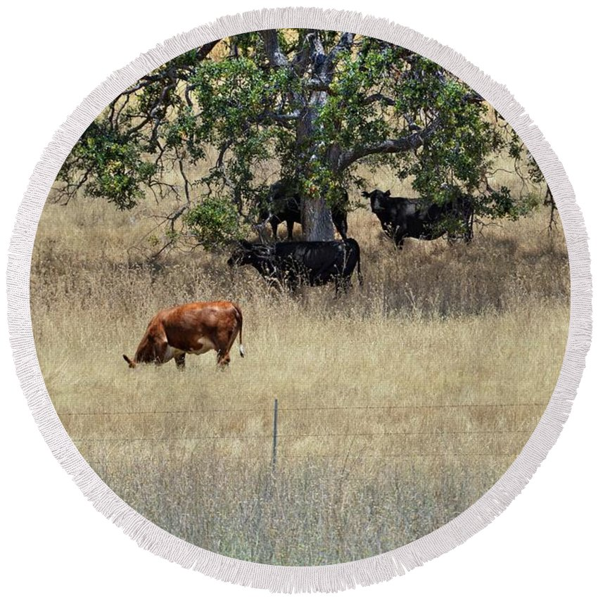 Oak Tree Round Beach Towel featuring the photograph Oak Tree And The Cows by Douglas Craig