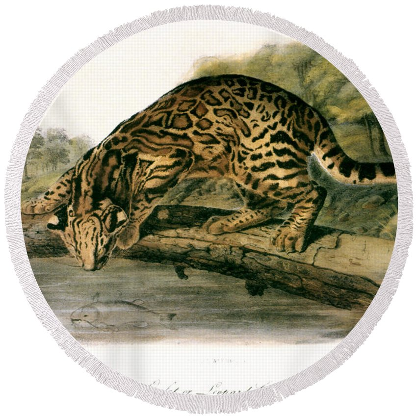 1846 Round Beach Towel featuring the photograph Ocelot (felis Pardalis) by Granger